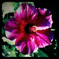 Hibiscus1_copy