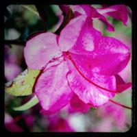 Magenta_flower3_copy