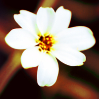 White_flowersaturated_velvia_xpro_c