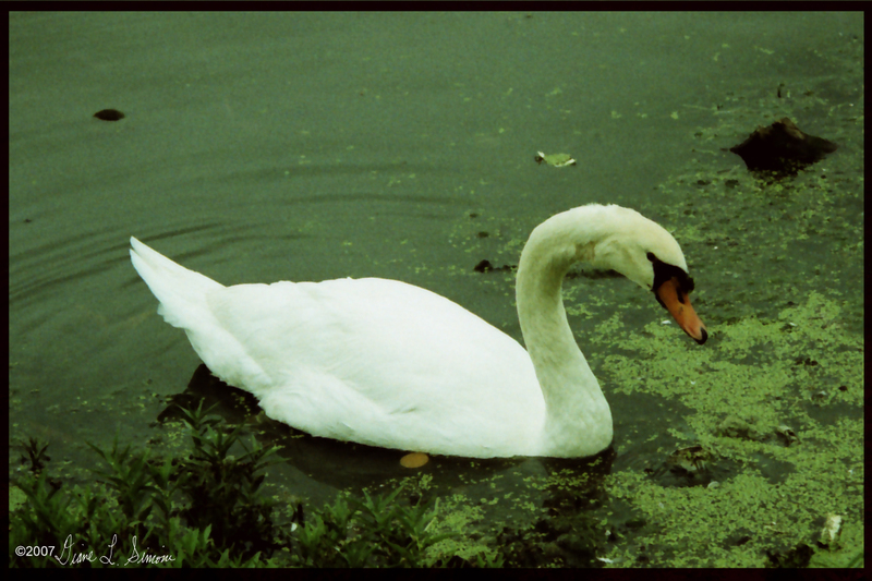 Swan2_bordered_and_signed_copy